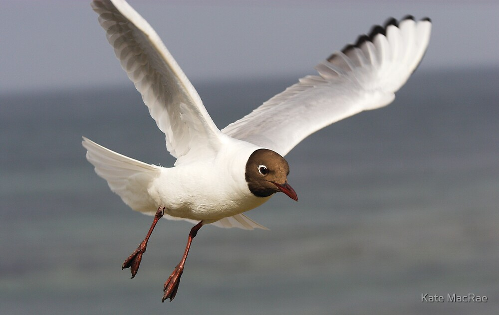 Black headed Gull by Kate MacRae