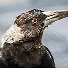 Australian Magpie Portrait by Wildpix