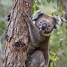 Koala by Wildpix