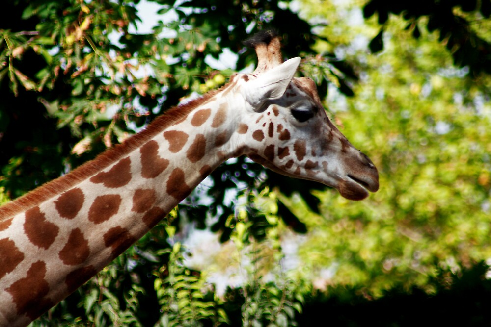 Giraffe by Adrian Richardson