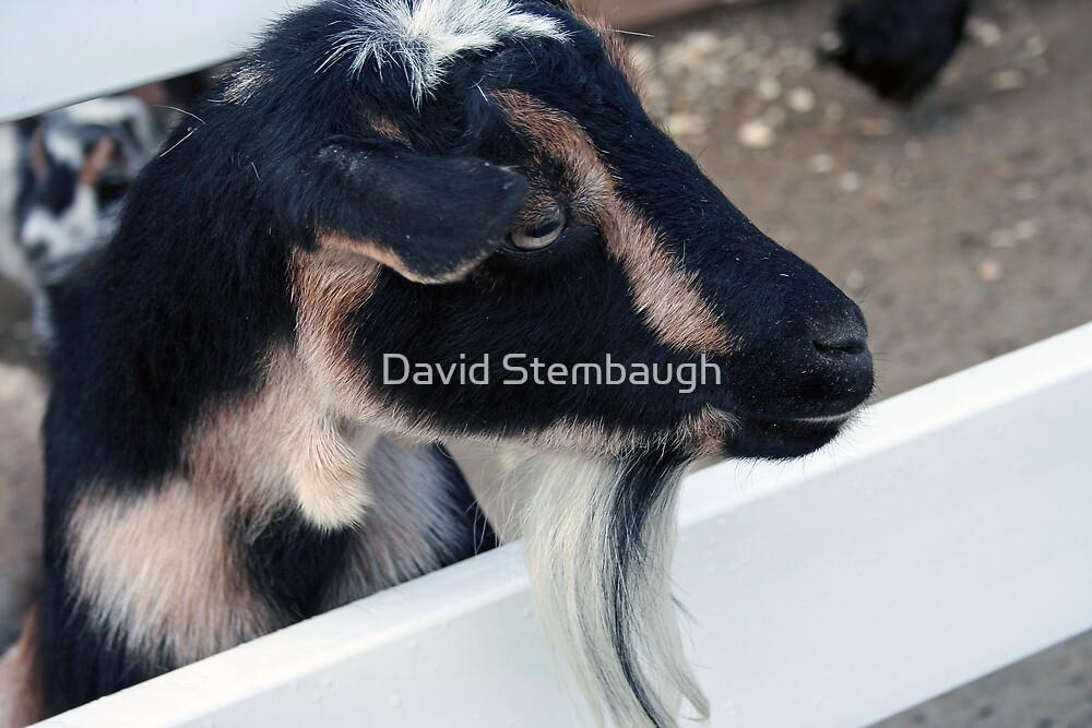 goat by David Stembaugh