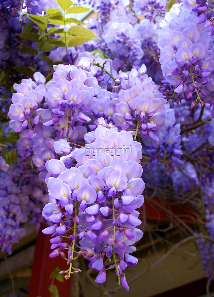 Wisteria by gypsygirl