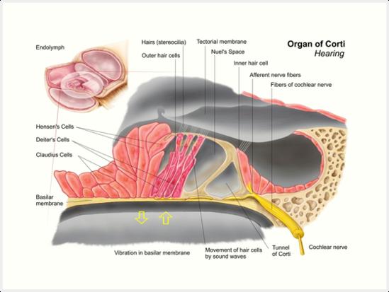 Láminas artísticas «Anatomía del órgano de Corti, parte de la cóclea ...