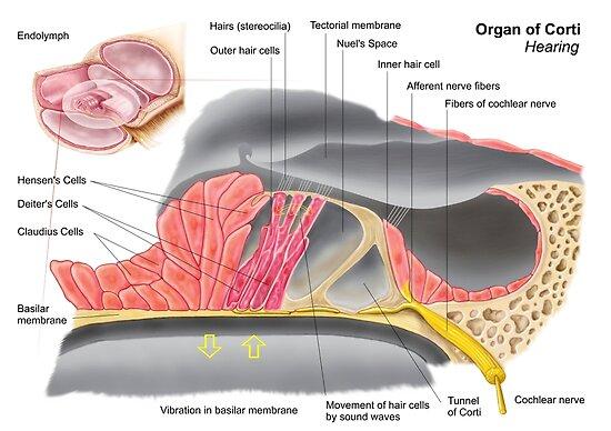 Pósters «Anatomía del órgano de Corti, parte de la cóclea del oído ...