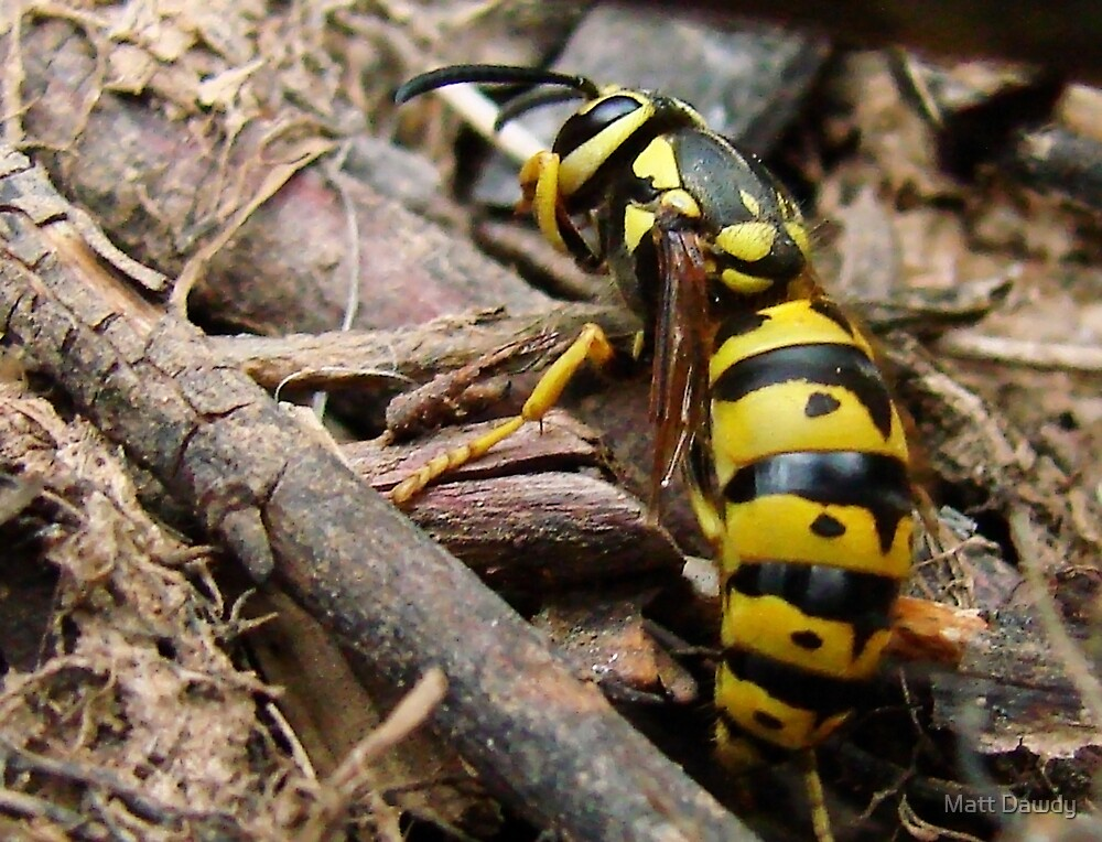 Wasp in the sticks by Matt Dawdy