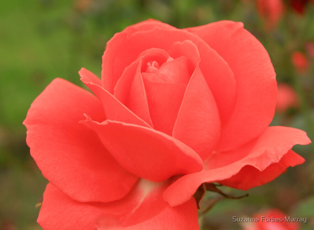 Red Rose by Suzanne Forbes-Murray