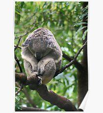Koala in rain Poster