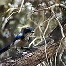 Blue Jay and Branches by CalicoJim