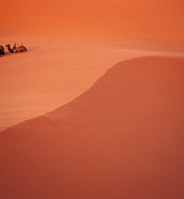 Camels in Desert by Charlie  Lin