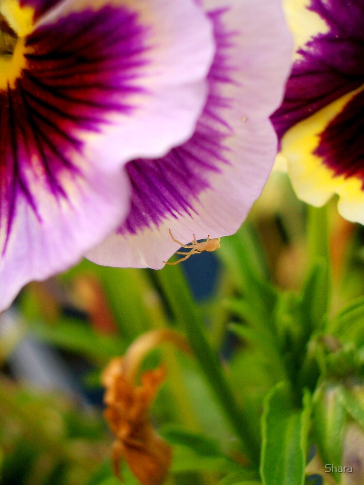 Pansy with Spider by Shara