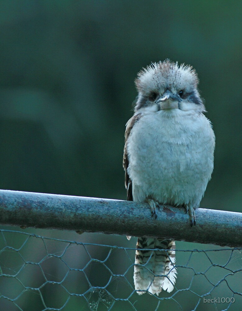 Baby Kookaburra by beck1000