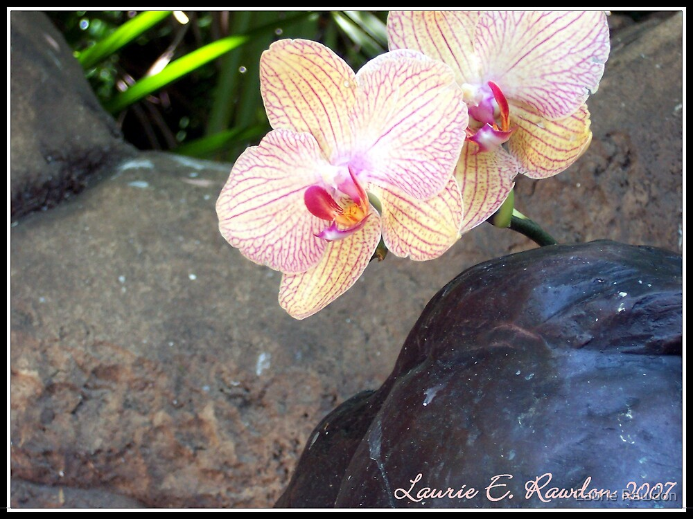 Pond Orchids  by Laurie Rawdon