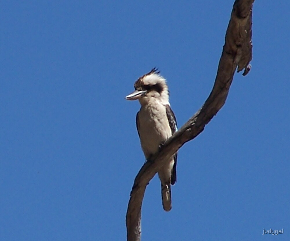 Kookaburra by judygal