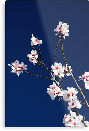 Almond bloom by Jörg Holtermann