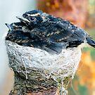 Baby Birds in Nest by Karen Stevenson