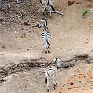LEAVING A DRY RIVERBED SEEKING WATER - BURCHELL'S ZEBRA – Equus burchelli – Bontkwagga by Magriet Meintjes