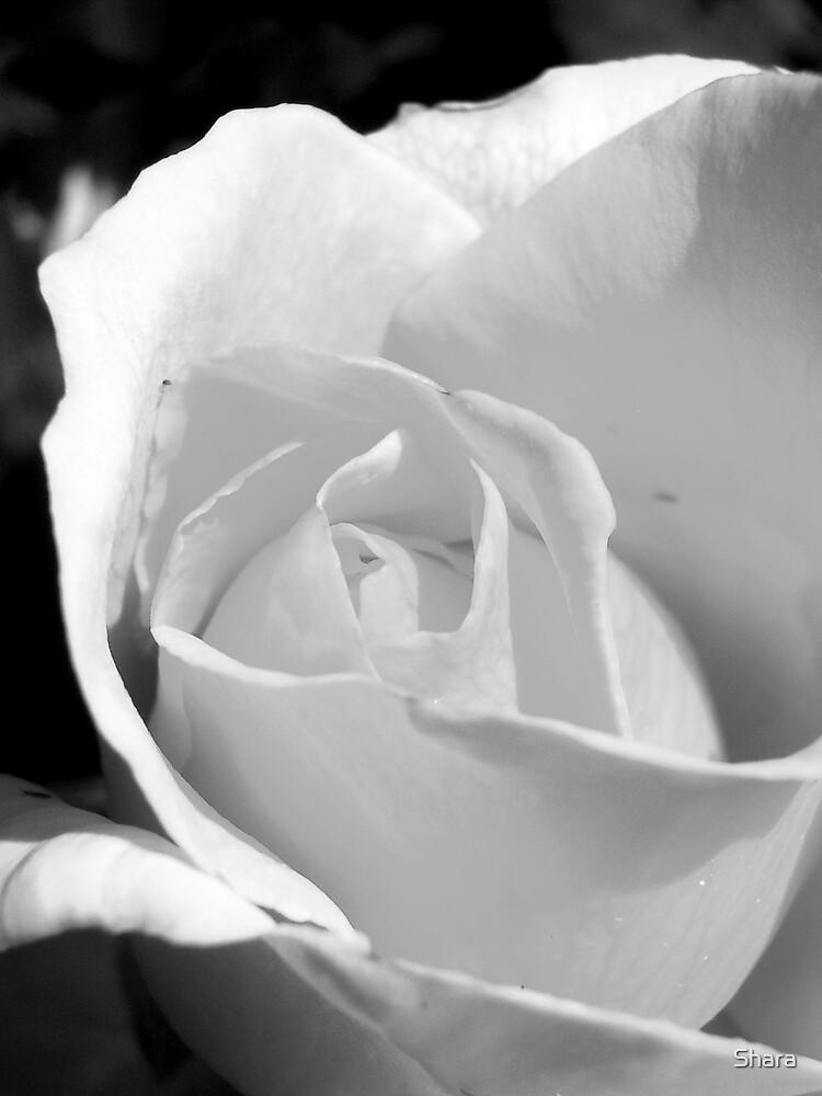 Black & White Rose by Shara