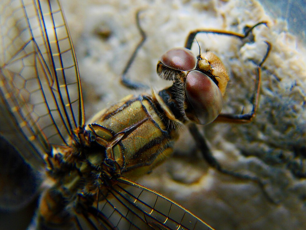 dragonfly7 by diddle