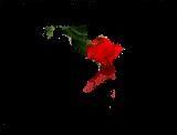 Bleeding Rose by Phillygoddess79