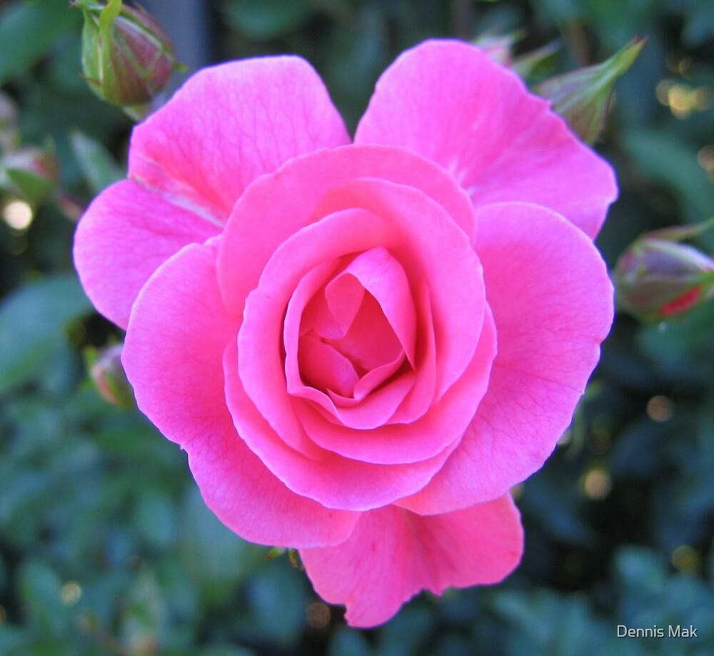 Pink Rose by Dennis Mak