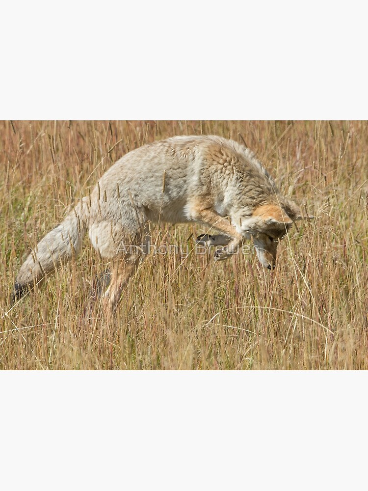 Coyote pounce by dailyanimals
