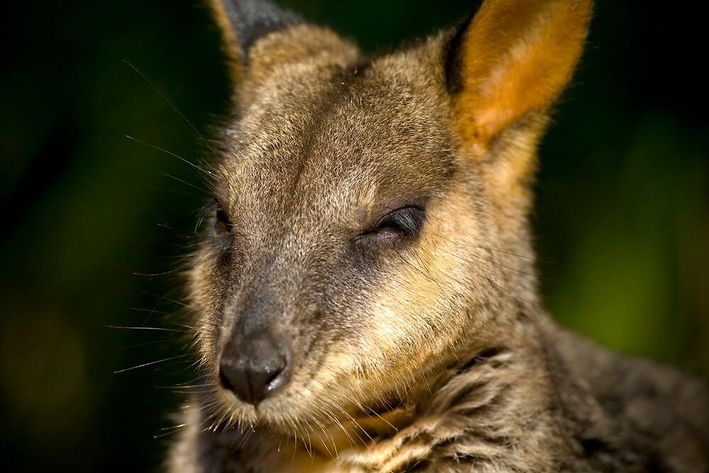 Wannabe a Wallaby by Edward Hor