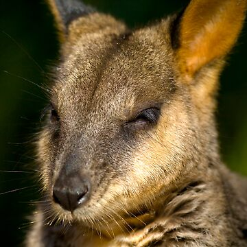 Wannabe a Wallaby by ehor