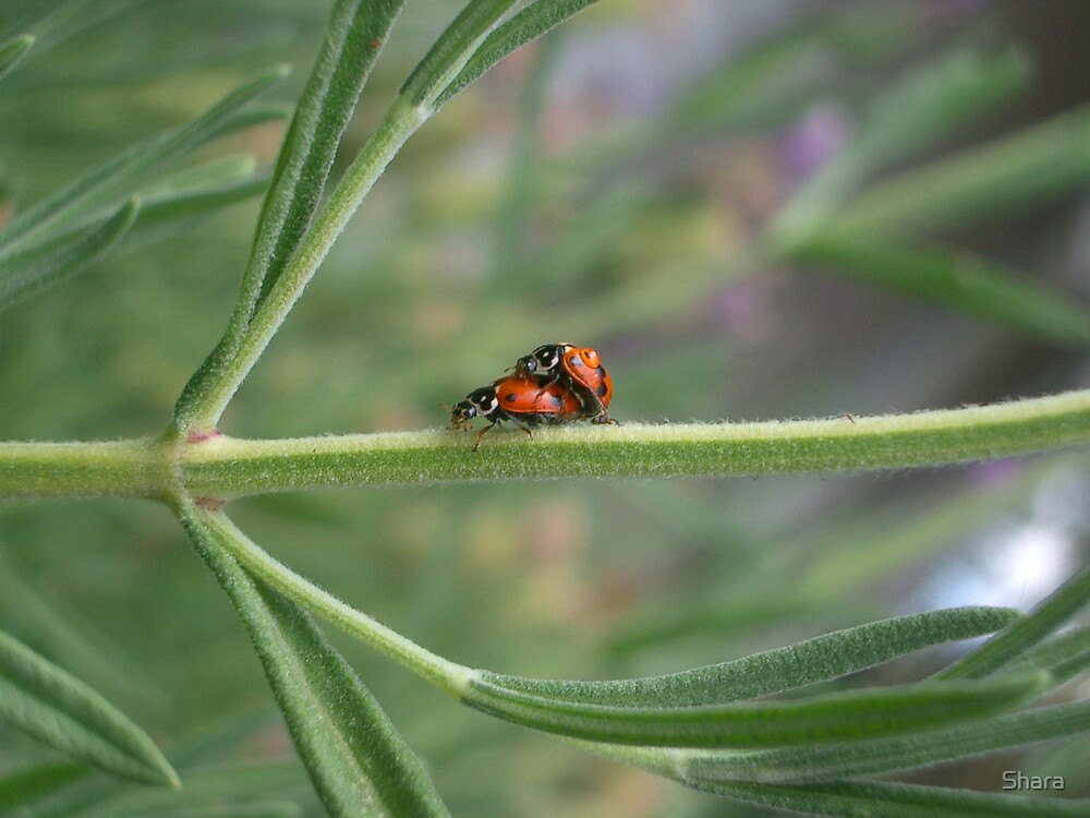 Lifecycle of the Lady Bug by Shara