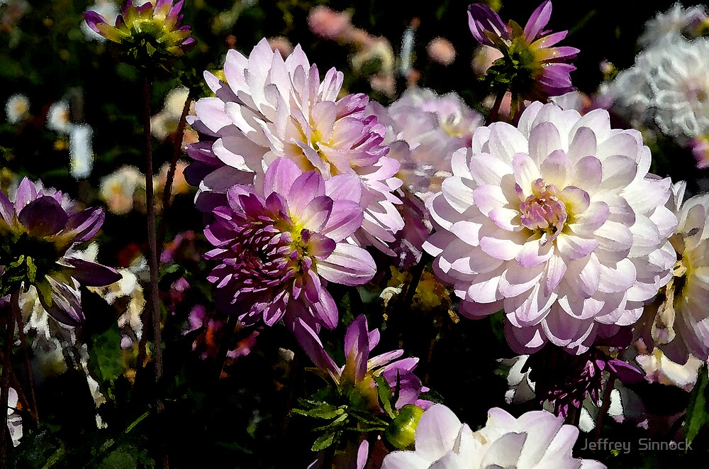 Dahlias in San Francisco 2 by Jeffrey  Sinnock