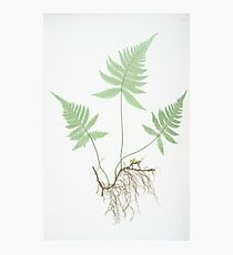Vintage Botanical Fern Photographic Print