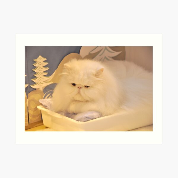 White Persian cat Art Print