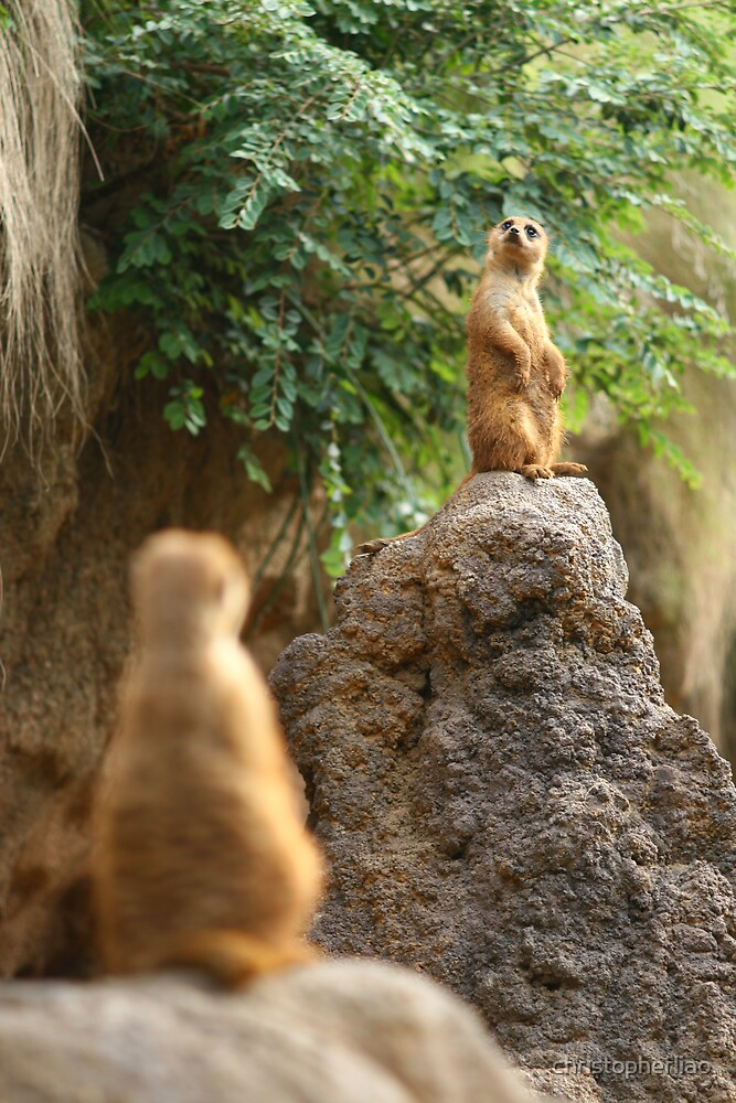 Meerkats on Guard by christopherliao