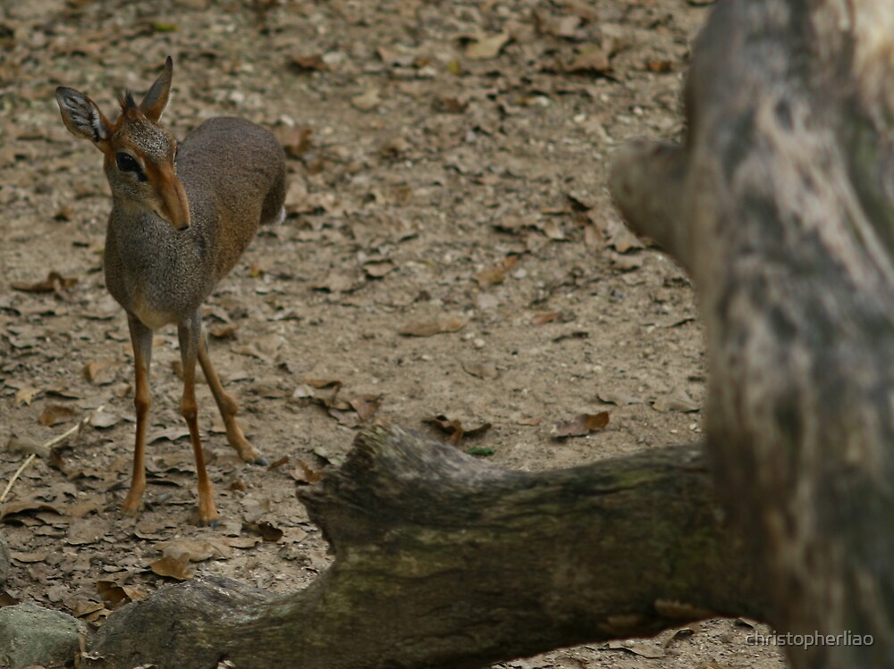 Three-legged Bambi (Dik-Dik) by christopherliao