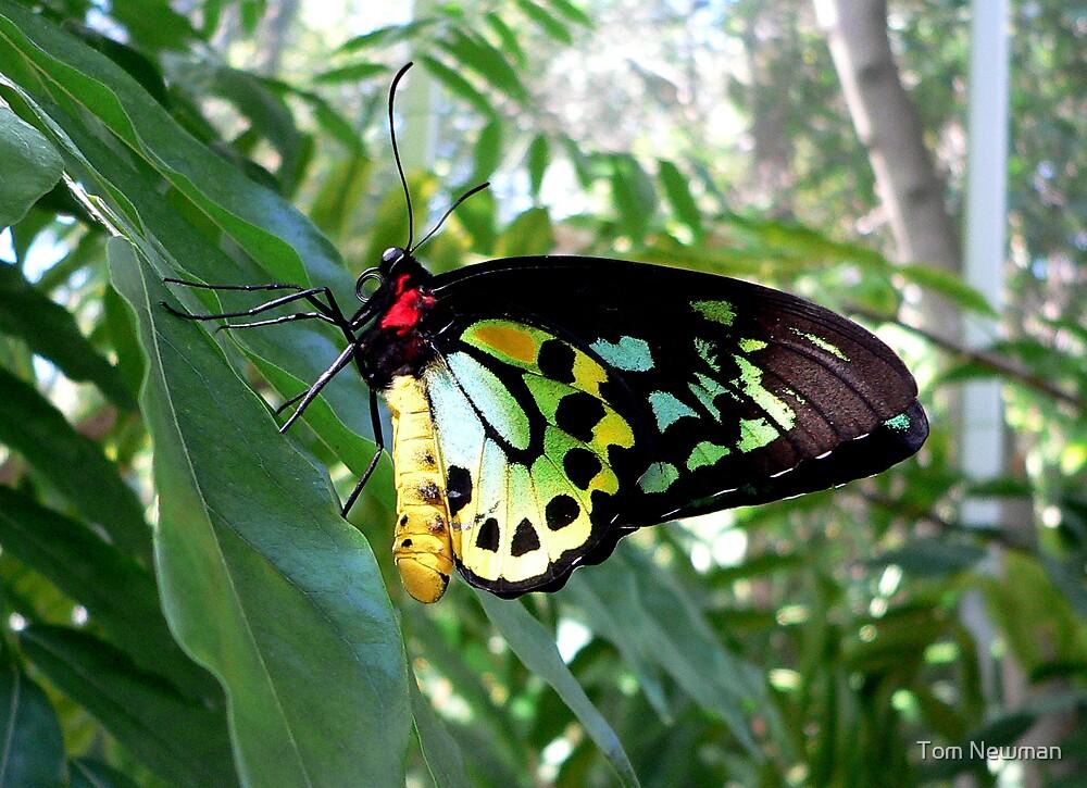 Cairns Birdwing Butterfly by Tom Newman