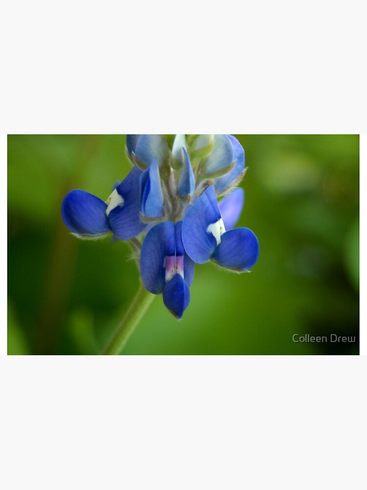 Texas Bluebonnet by colgdrew