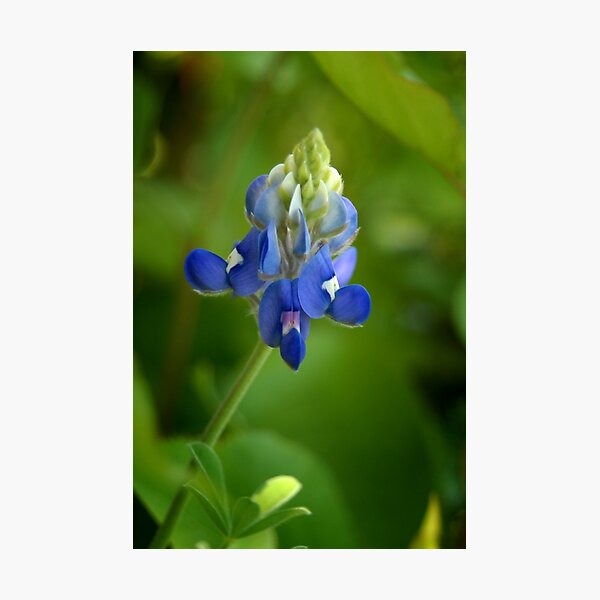 Texas Bluebonnet Photographic Print