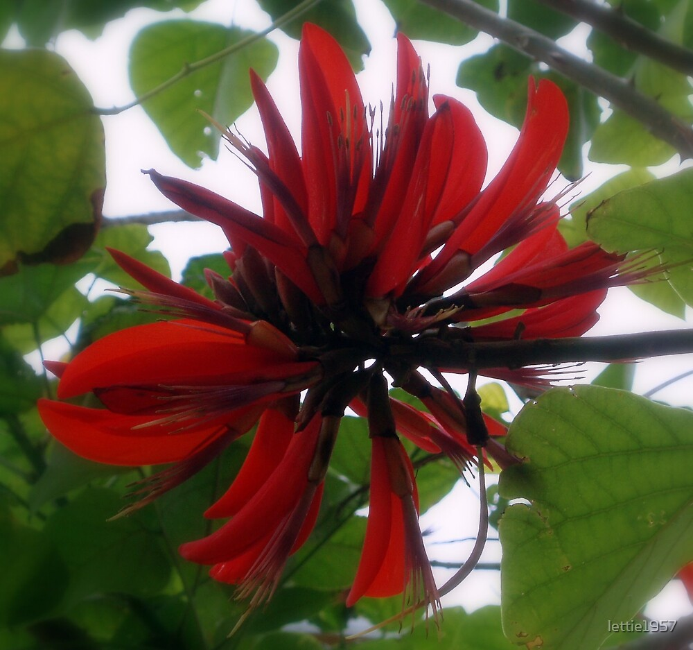 Flower from Flame Tree - WA by lettie1957