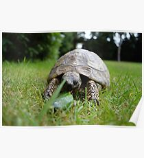 Tortoise Poster