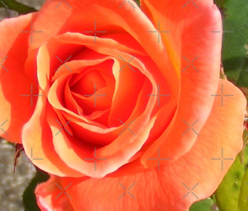 orange rose by dnlddean
