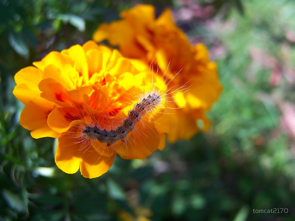 critter on marigold by tomcat2170