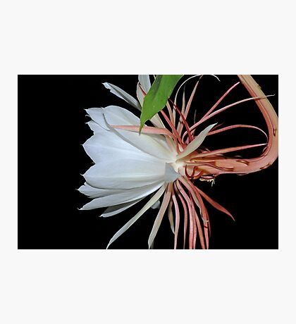 Cereus Night Blooming Flower Profile II Photographic Print