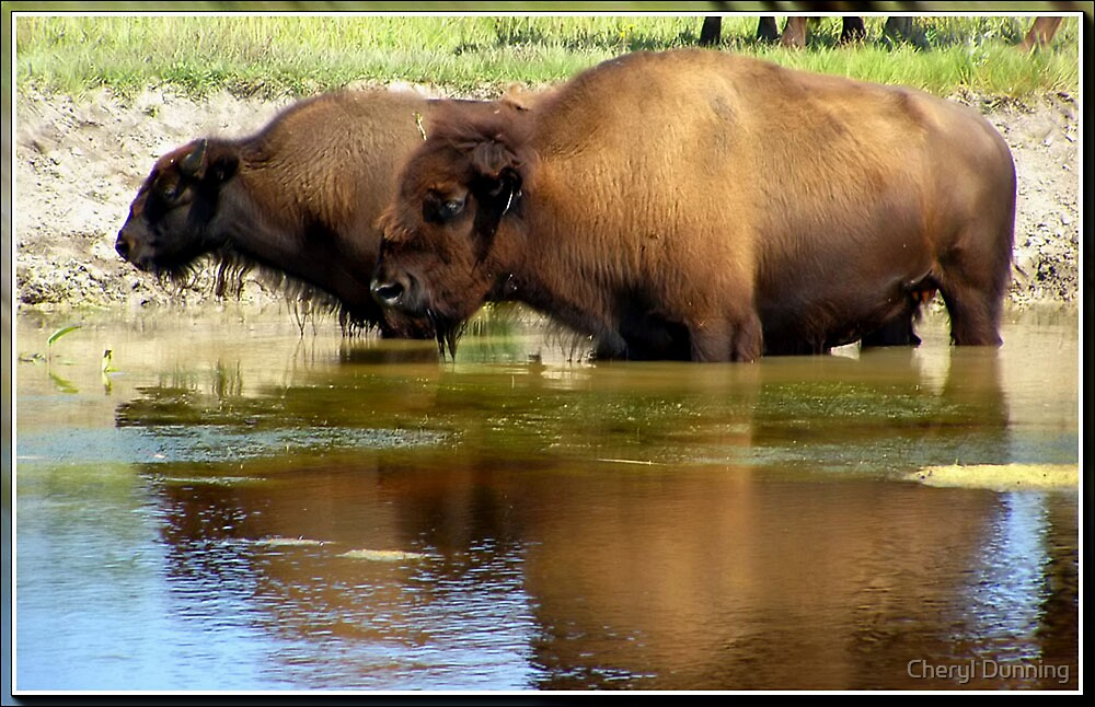bison cooling off by Cheryl Dunning