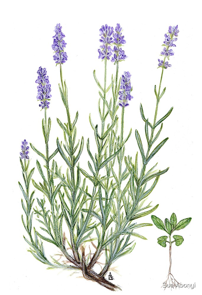 Quot Narrow Leaved Lavender Lavandula Angustifolia Quot By Sue