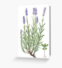 Narrow-leaved Lavender - Lavandula angustifolia Greeting Card