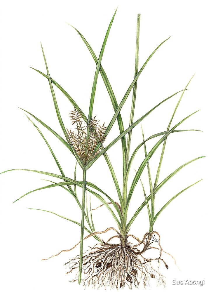 Tigernut Sedge - Cyperus esculentus by Sue Abonyi