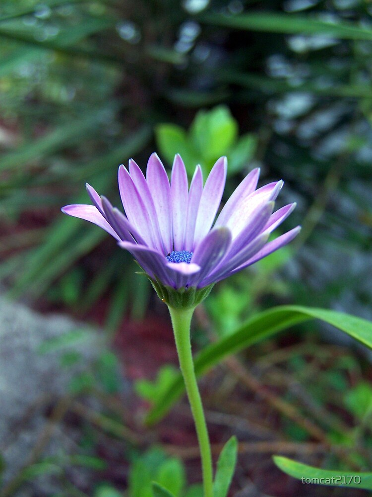 purple daisy by tomcat2170