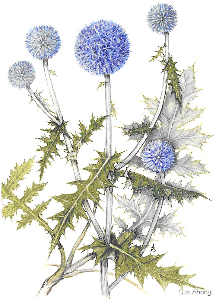 Globe Thistle - Echinops ruthenicus by Sue Abonyi