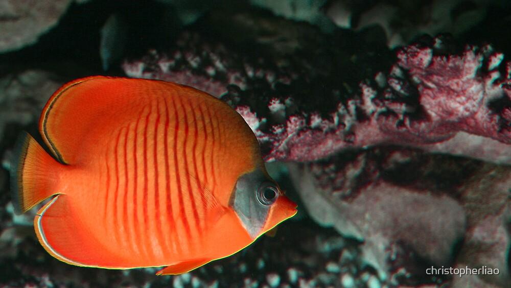 Orange Butterflyfish by christopherliao