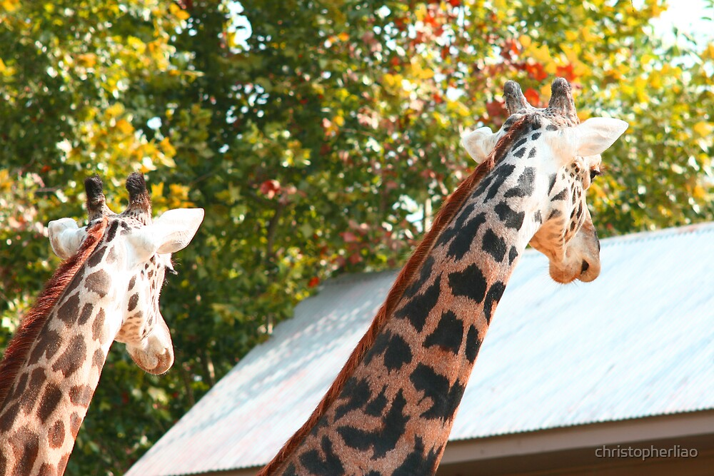 Two giraffes invade house by christopherliao