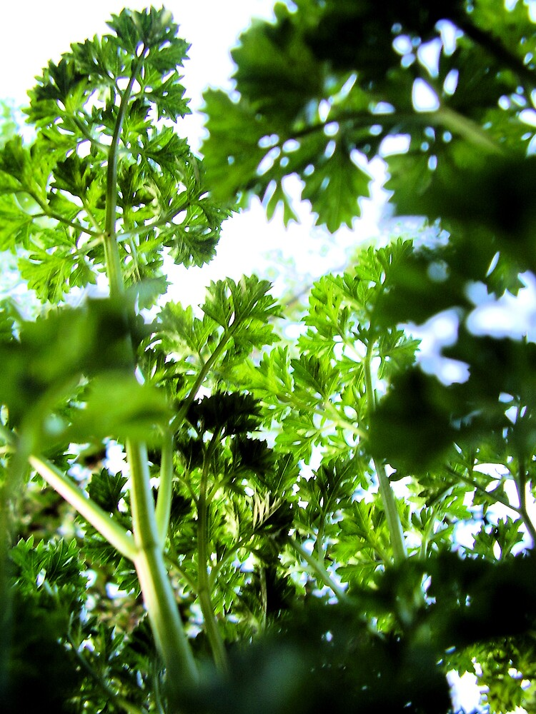 Parsley Canopy by Louise Richardson
